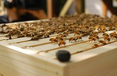 Bees Take to the Roof Tops as London Honey Festival Begins.