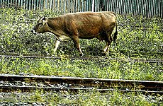 Cows on the Line Cause London Commuter Chaos.