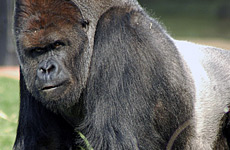 Gorillas Woo London Zoo's Millionth Visitor