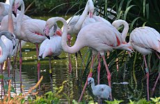 In the Pink at London Zoo - Mandeville flamingo chick with adults.