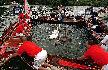 Skiffs encircling a family of swans to be marked