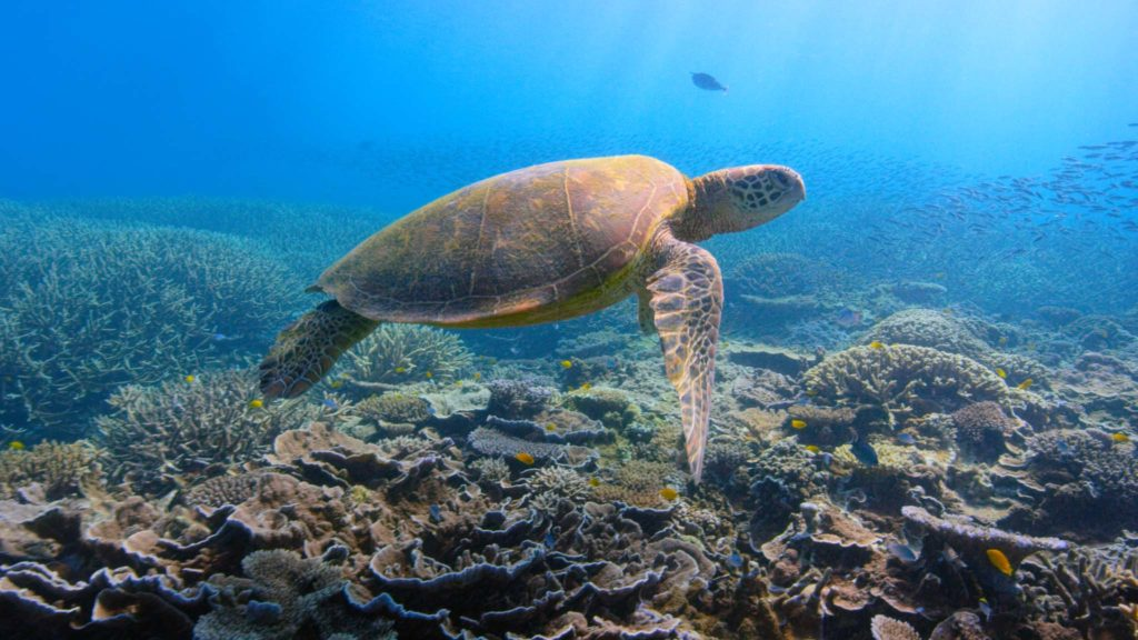 A turtle swimming over coral reefs in the documentary David Attenborough: A Life On Our Planet, directed by Alastair Fothergill, Jonnie Hughes and Keith Scholey. Copyright: Netflix/Altitude Film Distribution. All Rights Reserved.